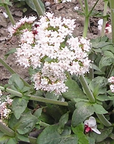 conservation of threatened medicinal plants of Medicinal plants are used as a source of raw drugs, chemical compounds or bioactive metabolites many of the medicinal plant species are facing threat of extinction due to indiscriminate harvesting by humans.